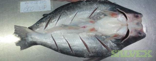 Basa fish butterfly pangasius salvex for What kind of fish is basa