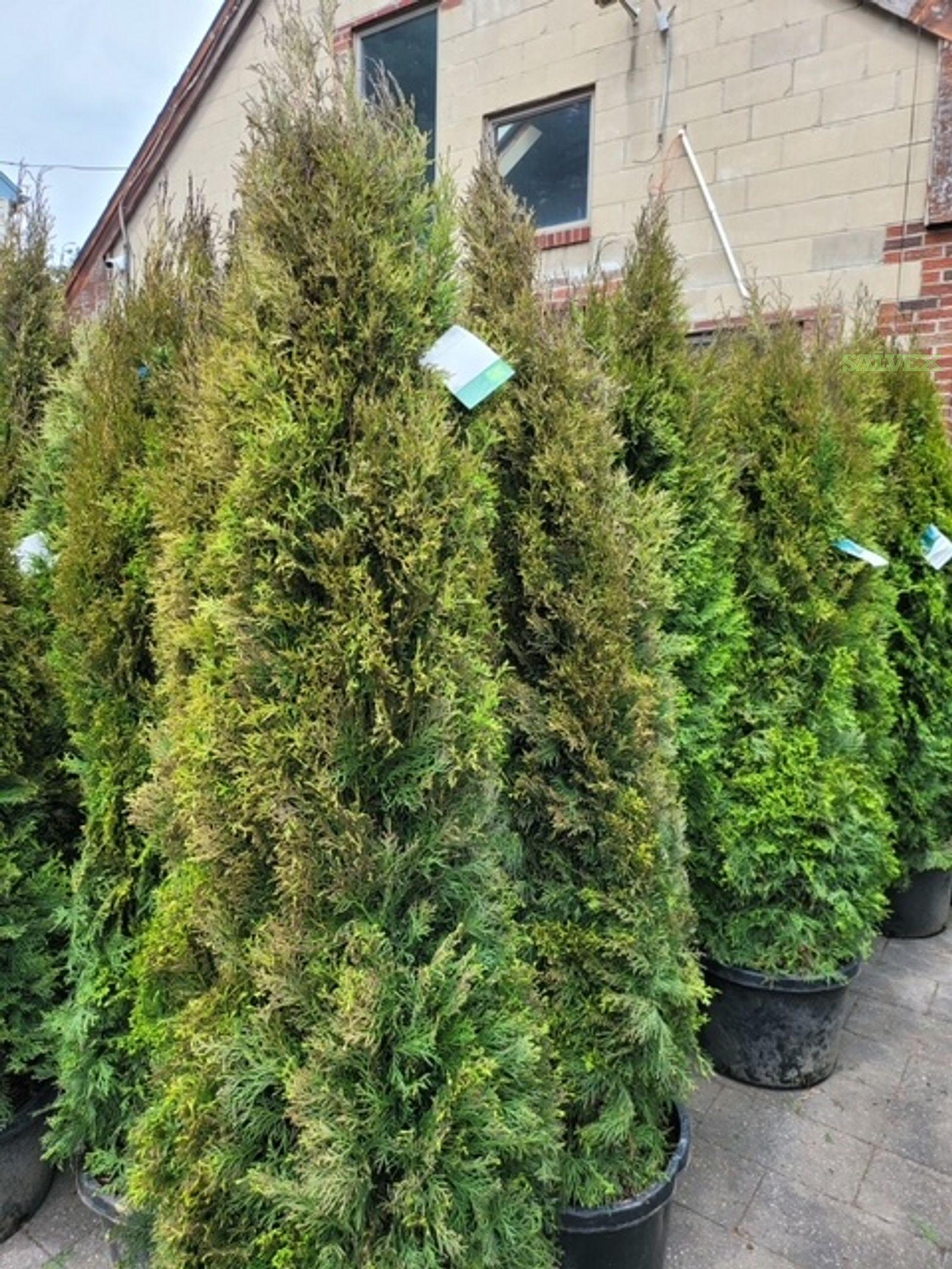 Emerald Green Arborvitae (Thuja Occidentalis Smaragd - 595 Units)